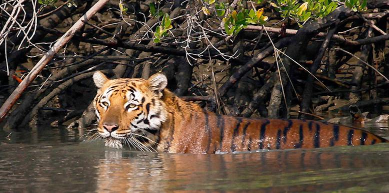 sunderban-tiger