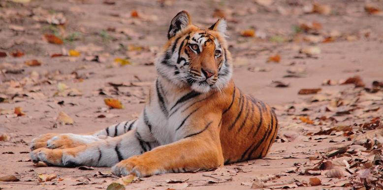 dhikala-tiger