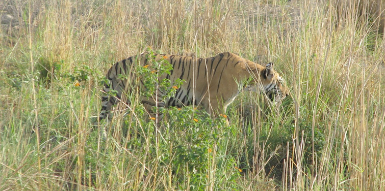 tiger-sighting-in-corbett