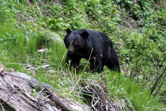 Black Bear at GNHP