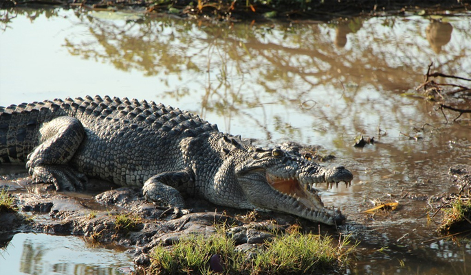 crocodile-goa