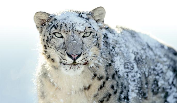 snow_leopard_Himalaya