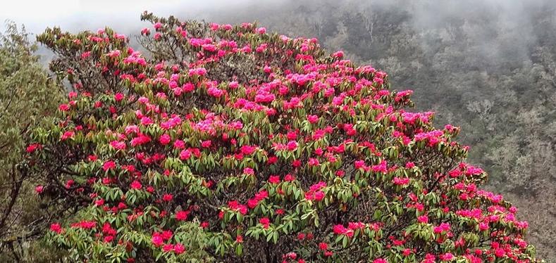 Rhododendron-Flowers-Trek