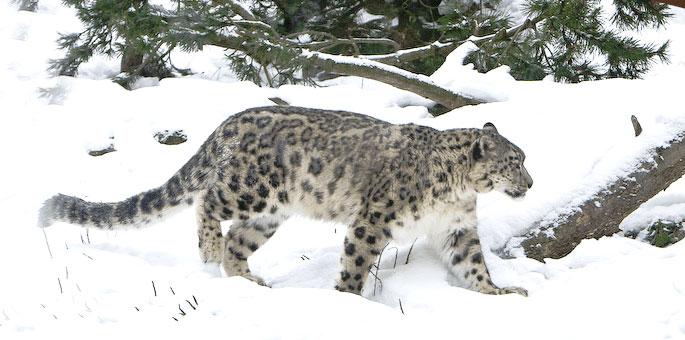 Snow-Leopard-Trek