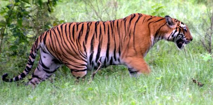bandipur-tiger-reserve