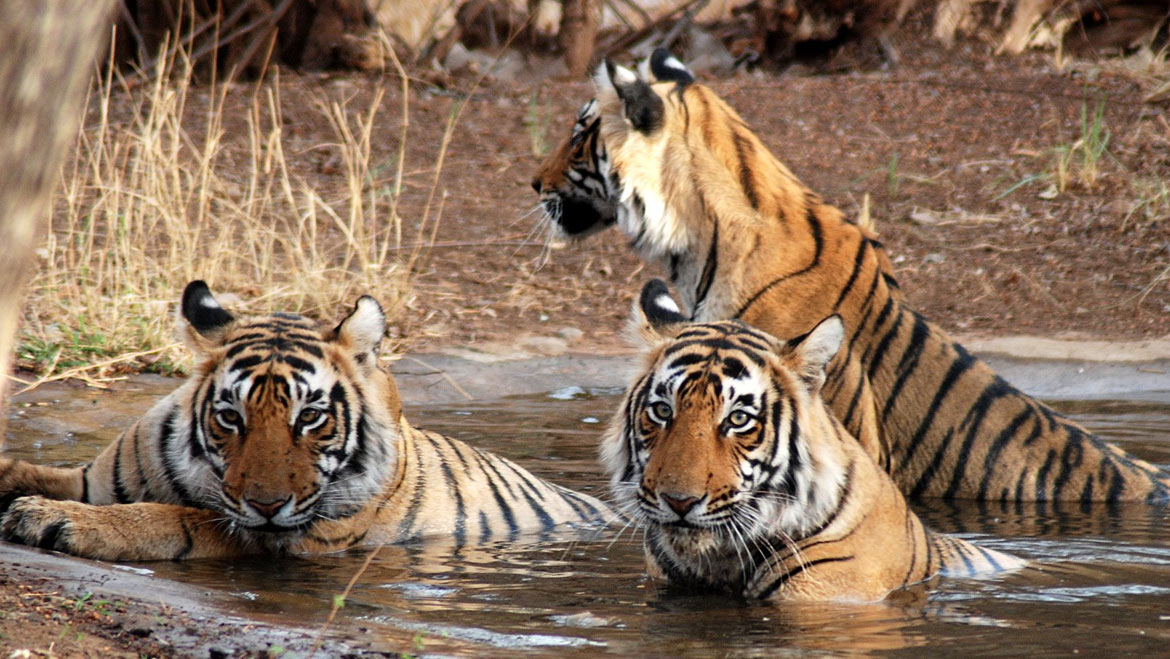 With 215 Tigers Corbett Reserve Tops in Tiger Population in India