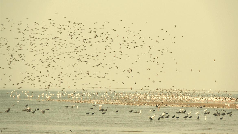 Over 130,000 Birds Recorded in the Pong Dam Wetlands, Himachal