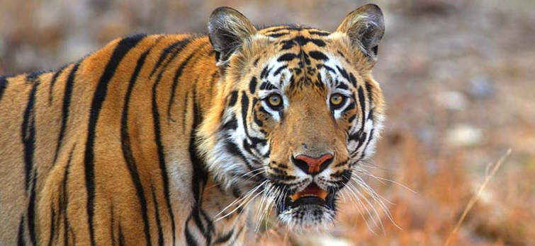 Navegaon-nagzira-Tiger-Reserve