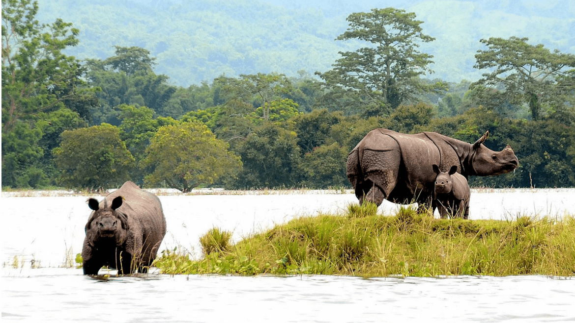 Poaching Continues to Be A Big Threat to Rhinos in Kaziranga National Park