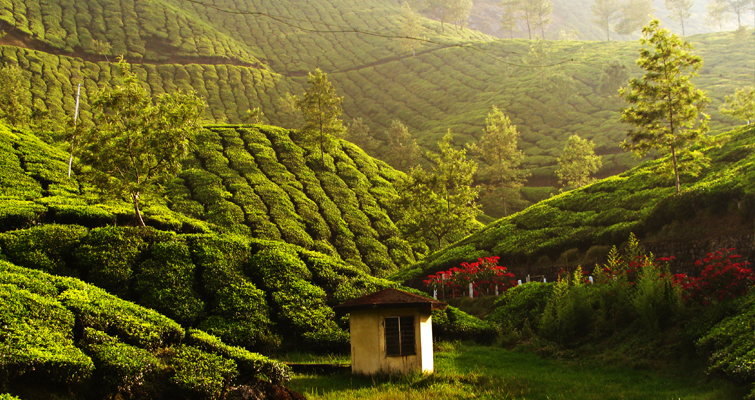 Munnar Tea Field Kerala