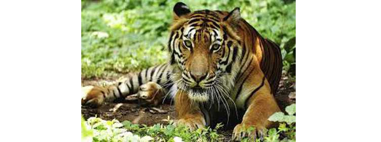 Panna's Tigress Migrated to Uttar Pradesh Forest Area
