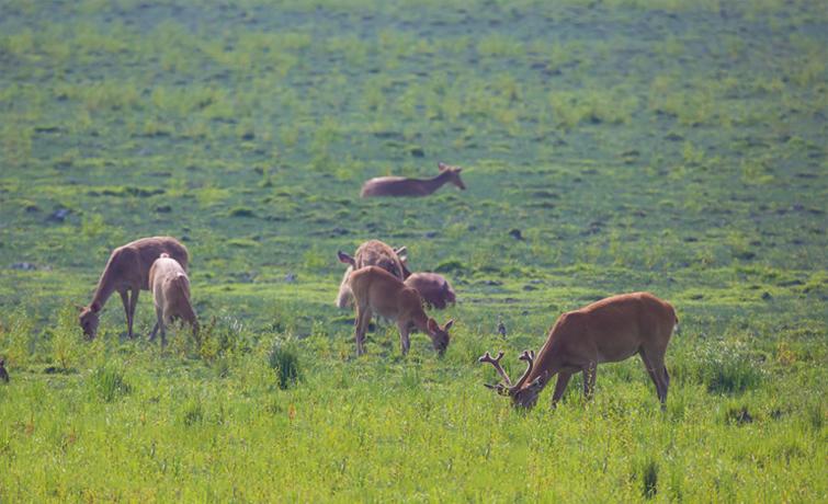 Swamp Deer Orange National Park