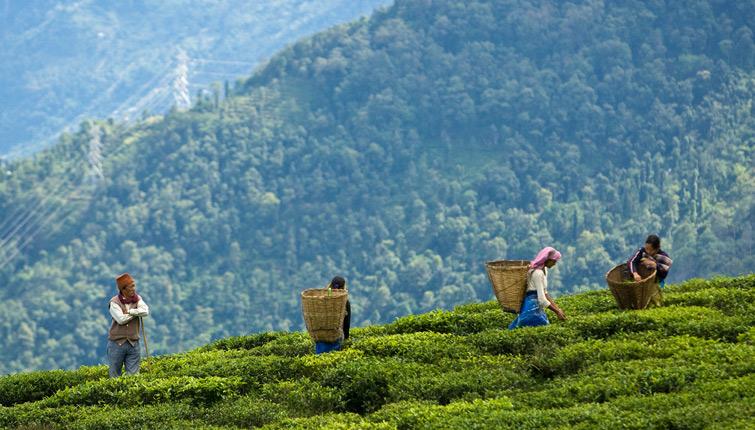 Temi Tea-State Sikkim