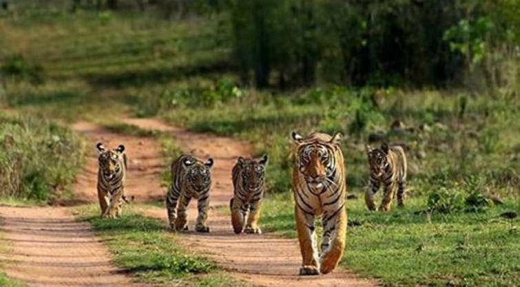 Bandhavgarh Tiger with Cub