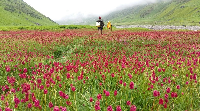 Lush carpet of beautiful grass with flowers in Mandani Bugyal
