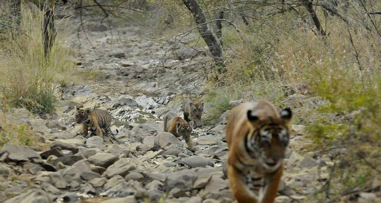 Tigress T-8 with three cubs in Ranthambore National Park