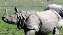 The One Horned Rhino wirh Hoolock Gibbons