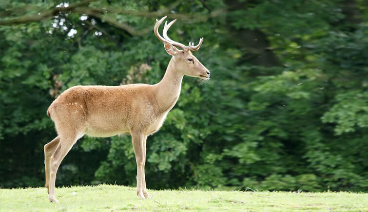 Sangai  Deer at Keibul Lamjao National Park