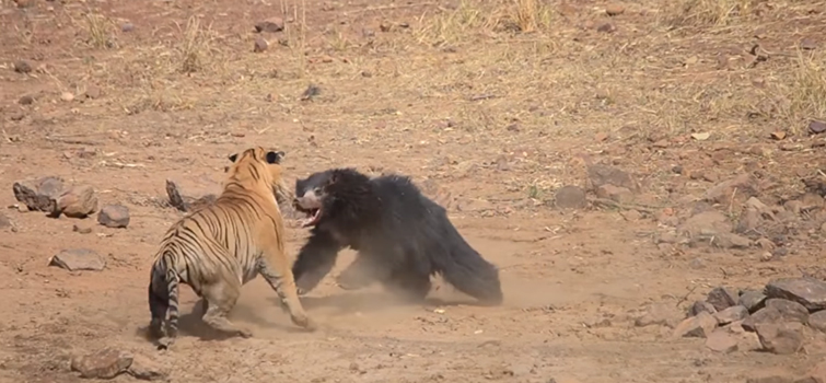 fight between sloth bear and tiger
