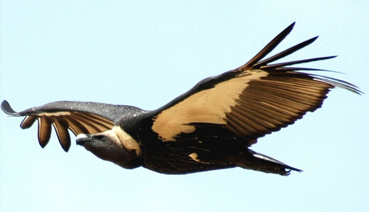 Vulture-Population-in-West-Bengal