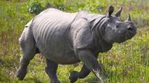 Rhinos & Tiger Tour in Kaziranga