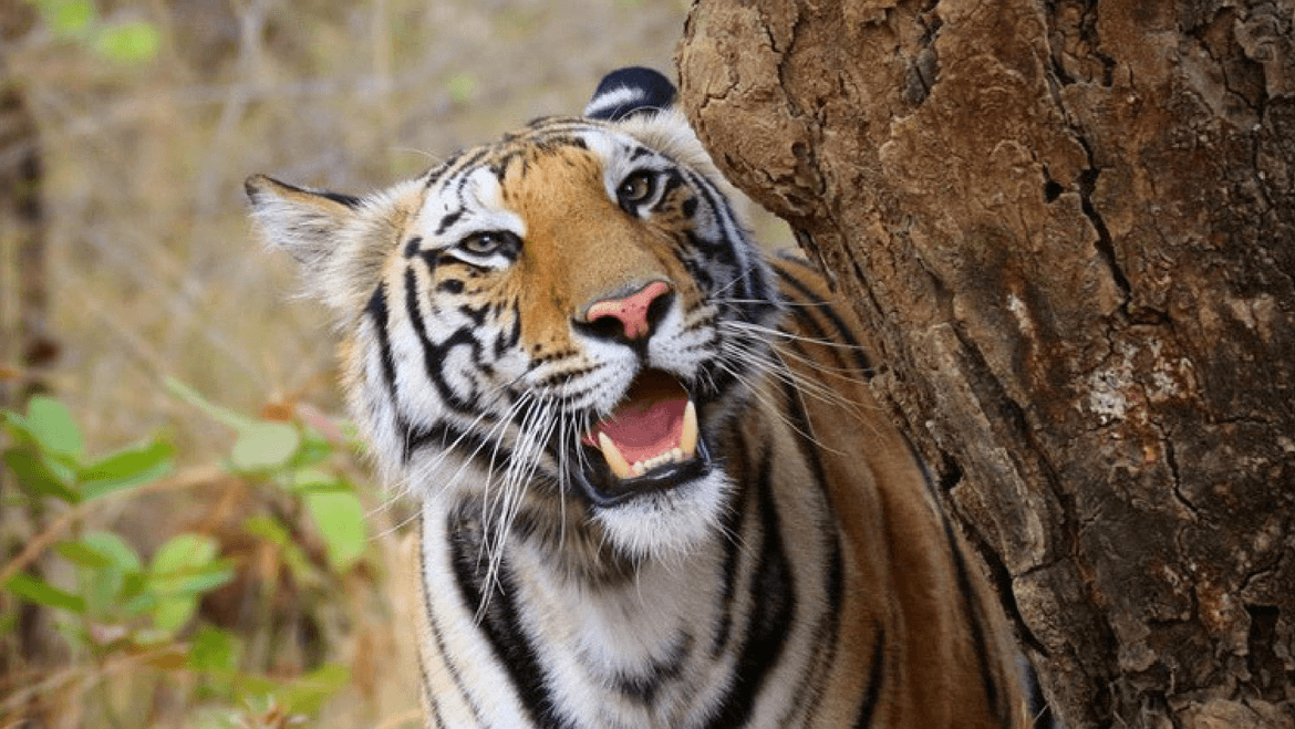 An Insight to India's First Inter-State Tiger Translocation Project