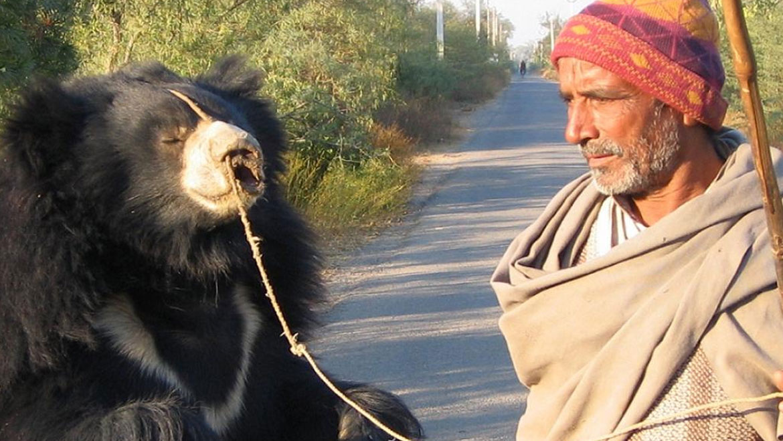 Last Dancing Bear Rangila Finally Comes Home to Wildlife SOS