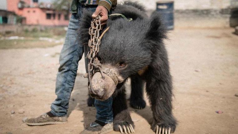 Rangila Bear Dies