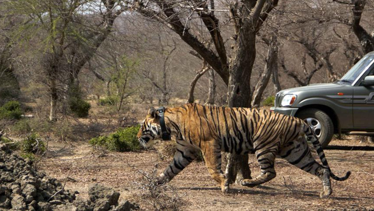 Tiger-in-India