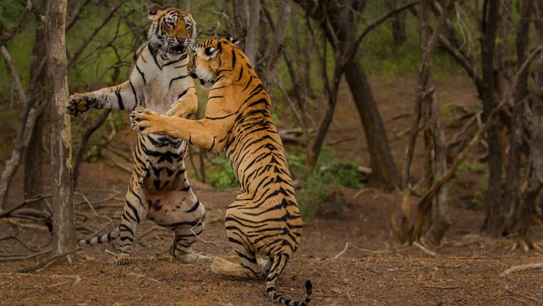 Tigers-Fight