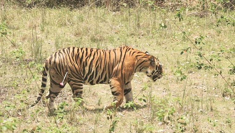 Sub Adult Male Tiger MB2
