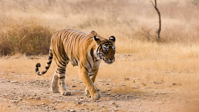 tigers-rellocating-on-their-own