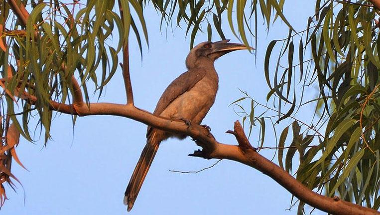 Hornbill-Spotted-in-Karnataka