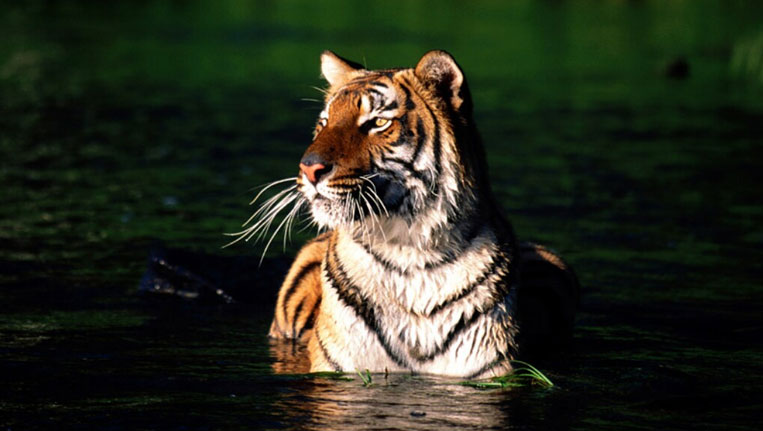 Tiger-at-Sunderbans-National-Park