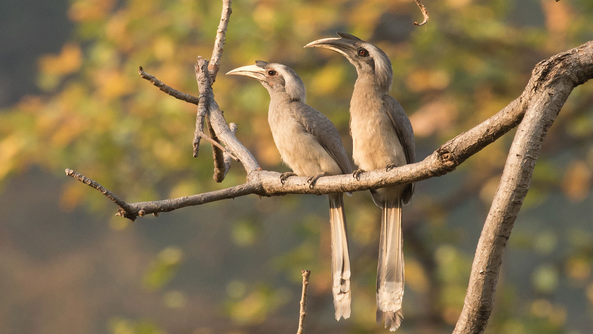 Hornbills find a Home in the Indian State of Karnataka