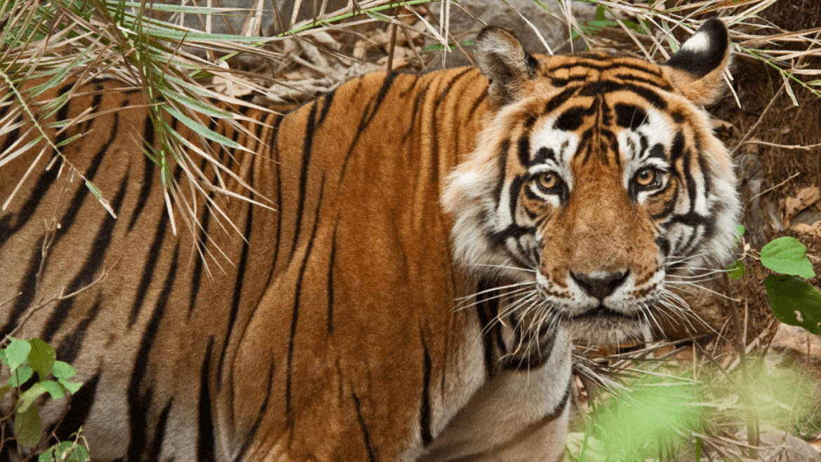 In A Fierce Battle of Moral Debates: Authorities Find Support From 6 Top Tiger Activists Supporting the Hunting or Relocation of The Man-Eating Tiger