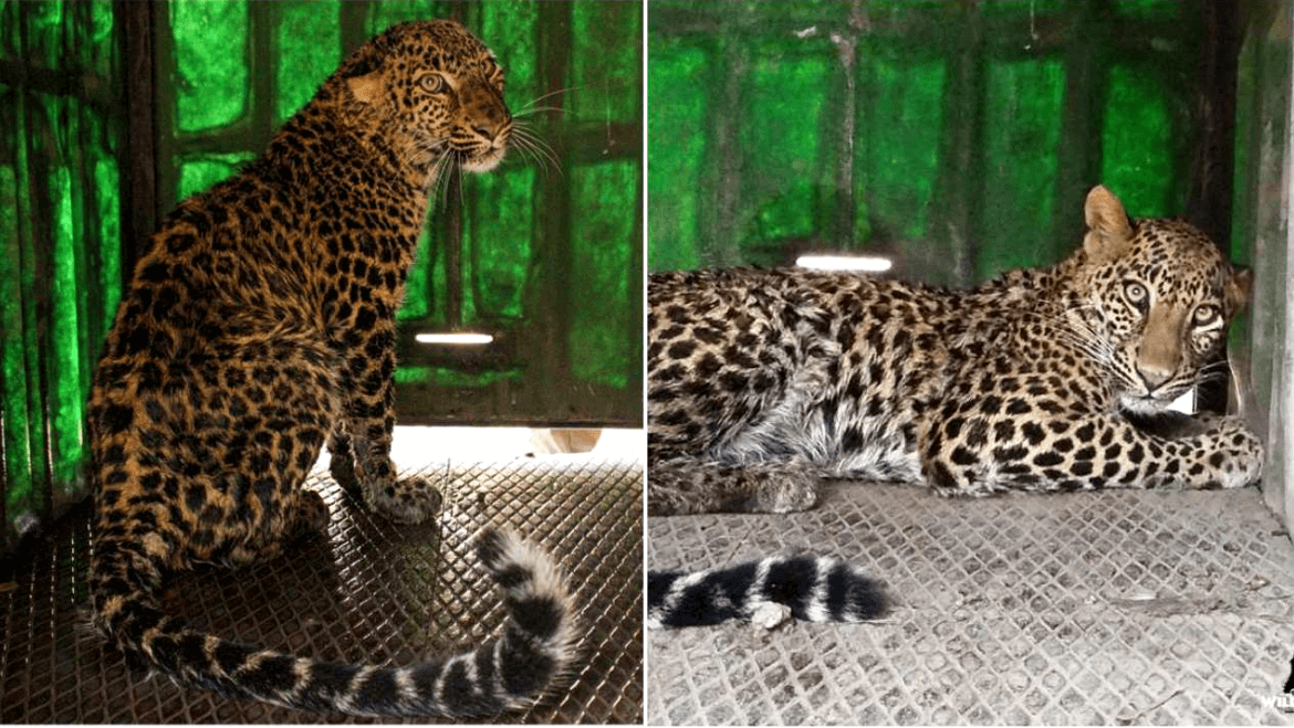 Leopard Rescued from A 50 Feet Well in Maharashtra: Second Leopard Rescued in A Week in Maharashtra