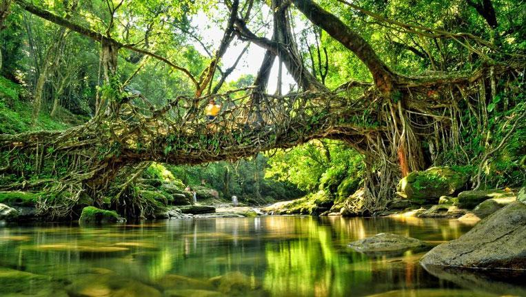 The Living Root Bridge In Mawlynnong Meghalaya