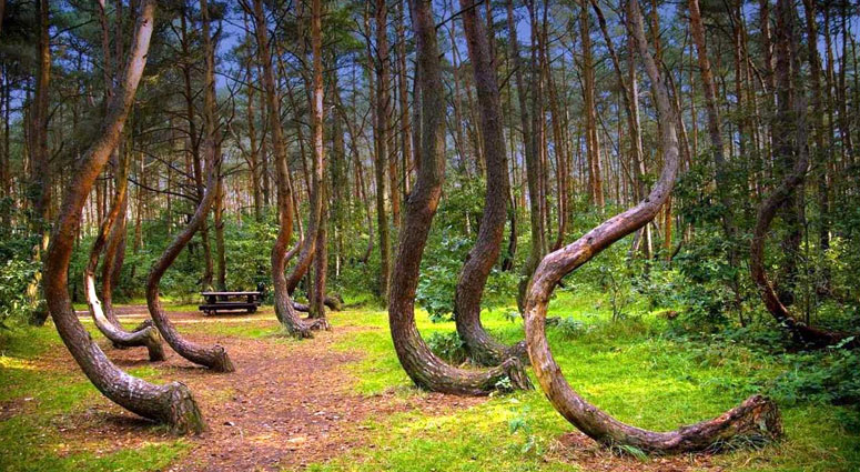 Crooked-Forest,-Poland