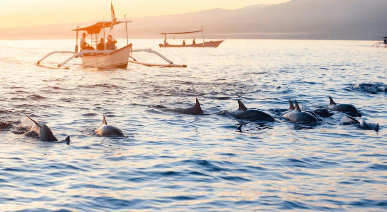 Dolphins at Lovina Beach
