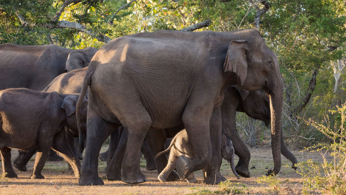 Negligence or Mismanagement? India Lost 2,330 Elephants in 6 Years