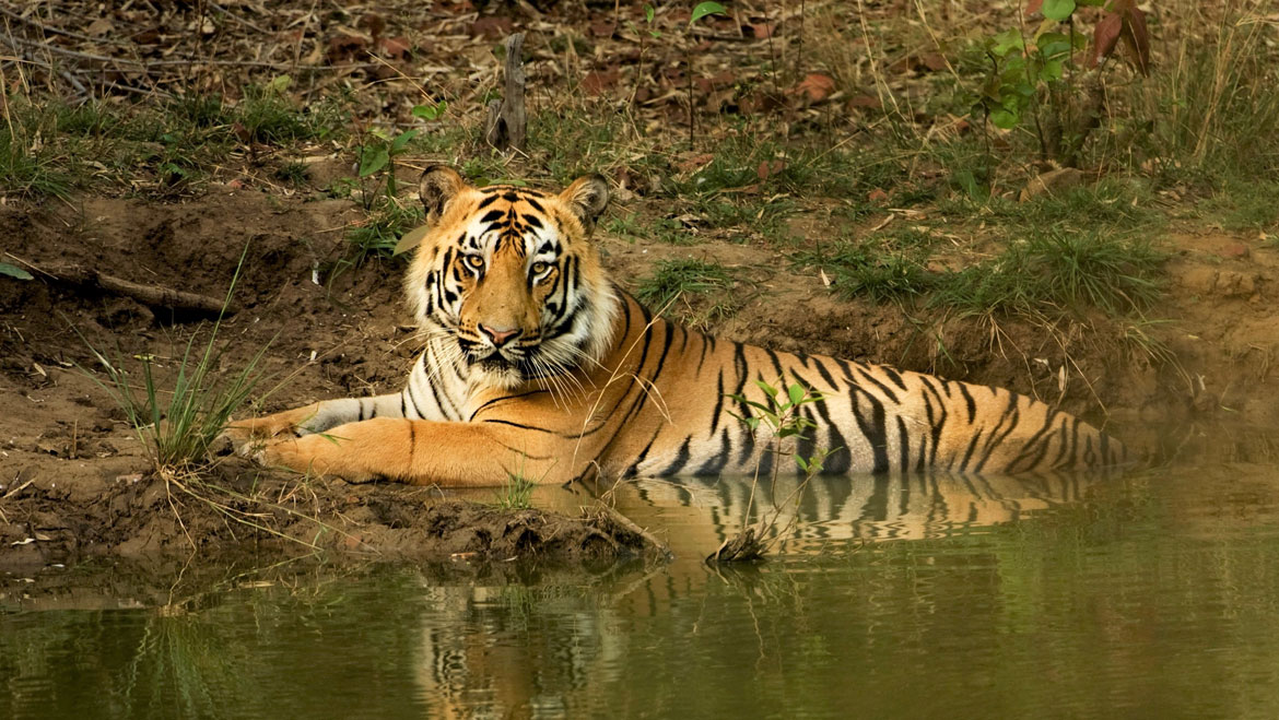 Save The Tiger:  India Has Killed 384 Tigers in Past 10 Years