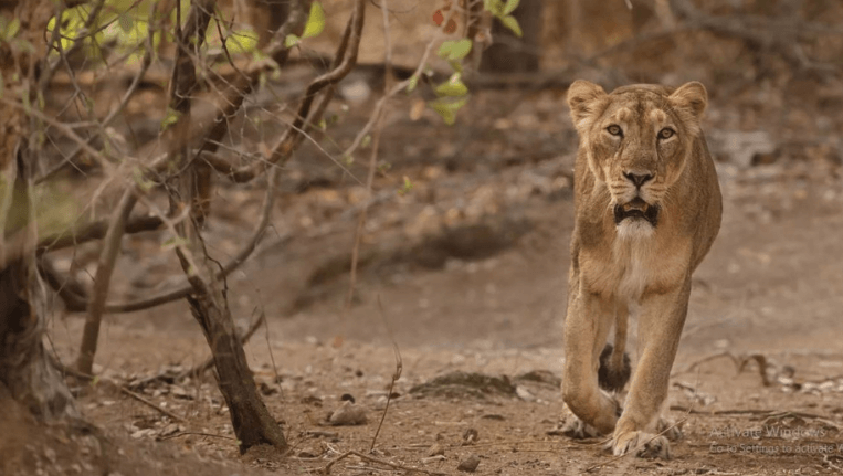 Lion Deaths in India4