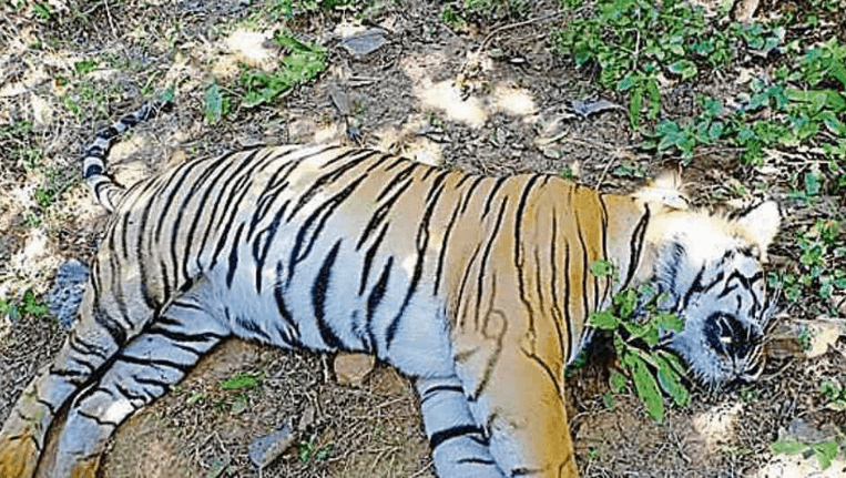 tiger deaths in Maharashtra