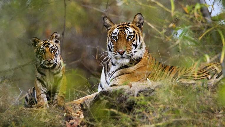 Dandeli National Park Tiger