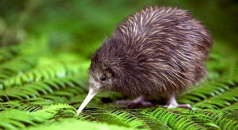 Kiwi Bird, New Zealand