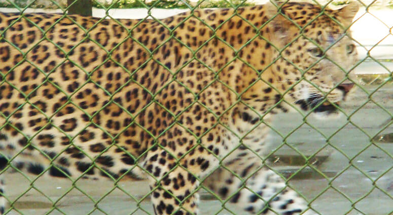 Leopard Sanjay Gandhi National Park