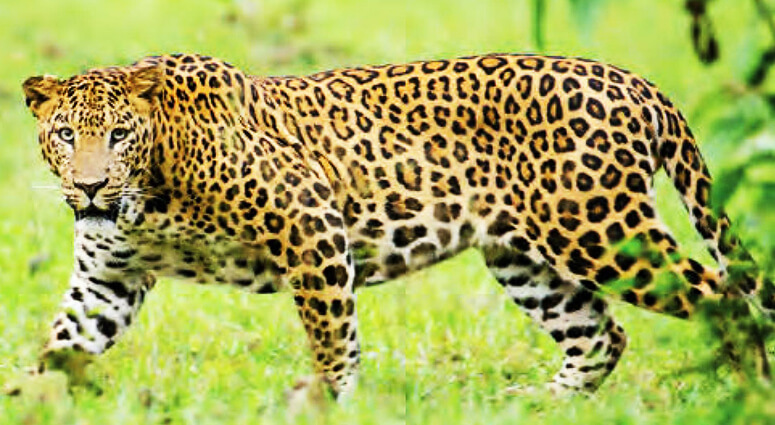 Sanjay Gandhi National Park Leopard Sighting