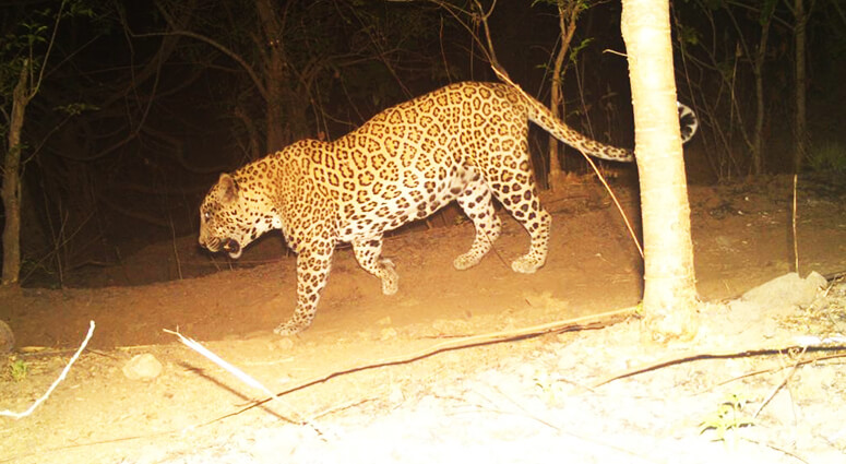 Sanjay Gandhi Park Leopard Sighting