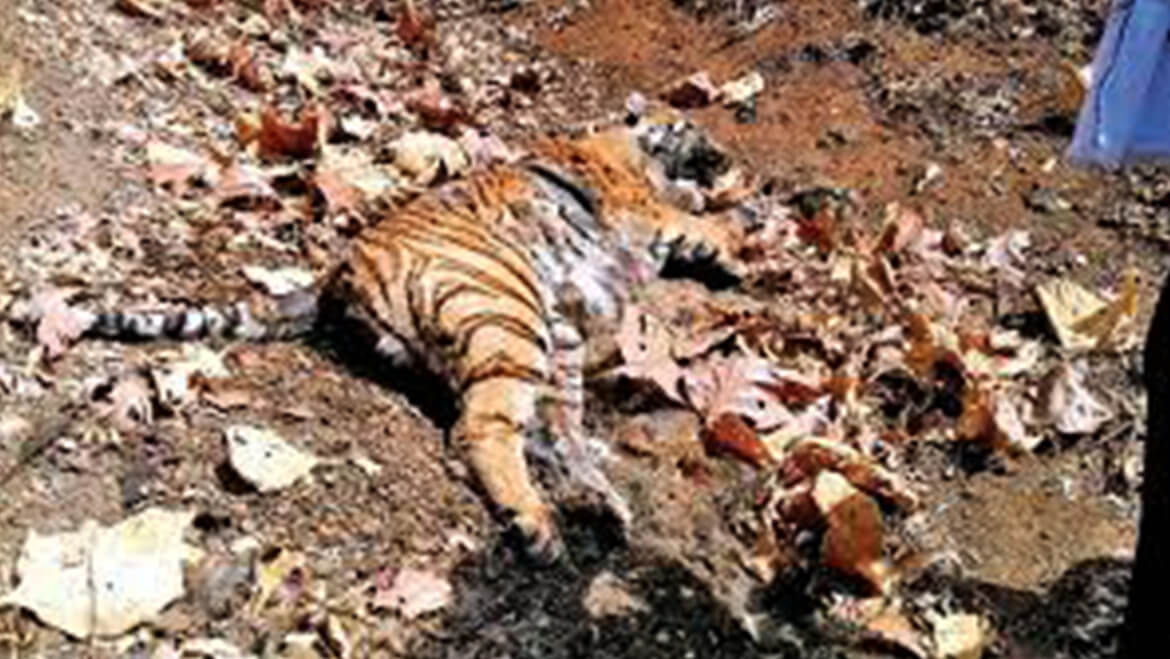 Tiger Deaths a Cause of Concern in Maharashtra
